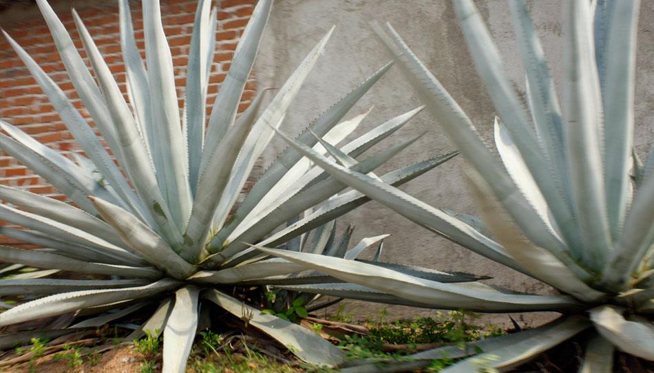 Agave plant, Salina Cruz, Oaxaca, Las Palmeras Surf Camp